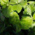Blätter einer Erdbeerpflanze