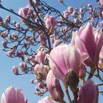Magnolienblüten vor blauen Himmel